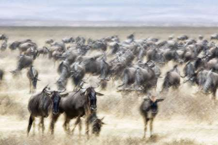 Herd of wilderbeest inside Ngorongoro Crater