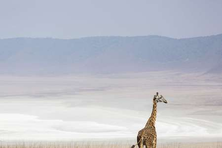 Lone Girafffe entering Ngorongoro Crater